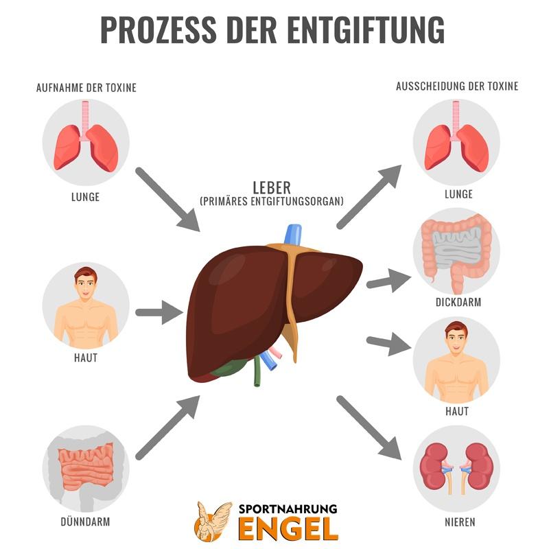 Ausscheidung und Aufnahme von Toxinen im Körper