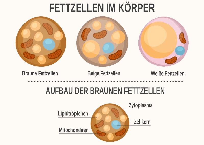 Was ist braunes Fettgewebe und wie unterscheidet es sich von anderen Fettzellen?