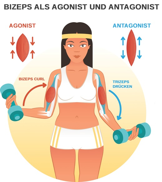Arbeit der Bizeps Muskulatur als Agonist und Antagonist